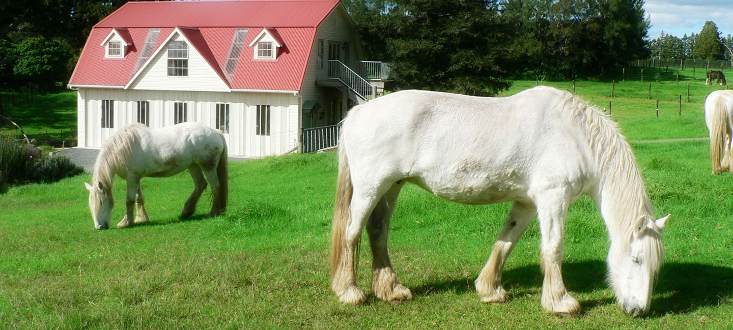Shire horses at the carriage house farmstay northland nz