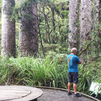 kauri forests and bush walks in northland